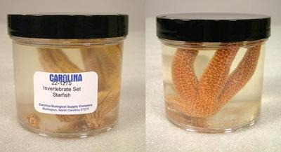 Preserved Specimen Invertebrate Set, Starfish