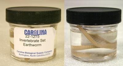 Preserved Specimen Invertebrate Set, Earthworm