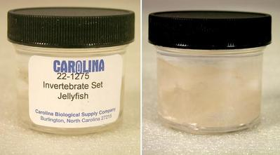 Preserved Specimen Invertebrate Set, Jellyfish