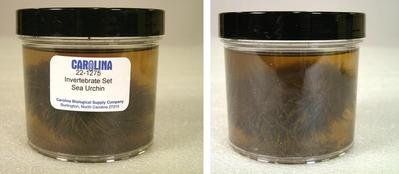 Preserved Specimen Invertebrate Set, Sea Urchin