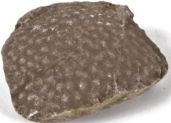 Stromatopora - Fossil Sponge