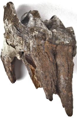 American Mastodon molar