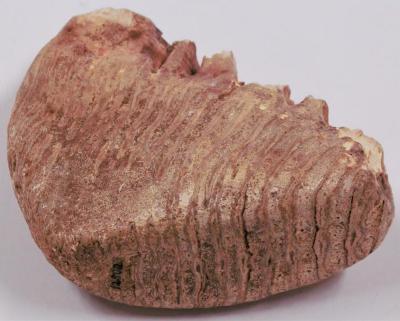 Jeffersonian Mammoth molar