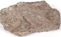 Fenestella bryozoan