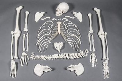 Human Skeleton, disarticulated, cast