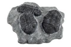 Phacops Trilobites (cast)
