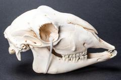 Domestic Sheep Skull
