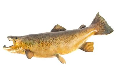 Brown Trout (cast)
