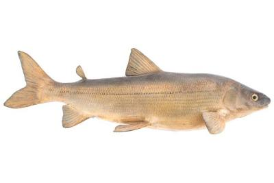 Lake Whitefish (Cast)