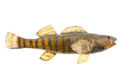Rainbow Darter (Cast)