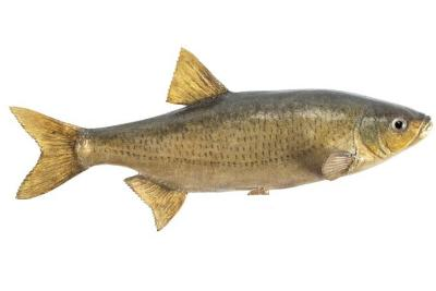 Golden Shiner (Cast)