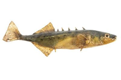 Brook Stickleback (Cast)