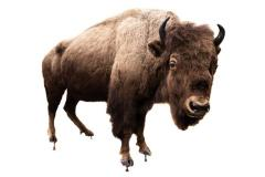 American Bison (mount)