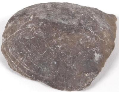Strophodonta brachiopod