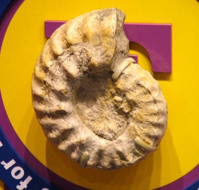 Cephalopod Fossil