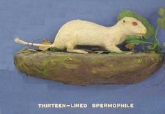 Albino 13- Lined Spermophile