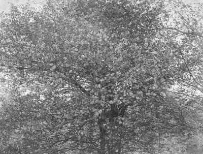 Photograph, Wild Crabapple