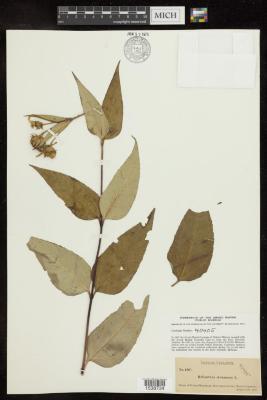 Paleleaf Woodland Sunflower