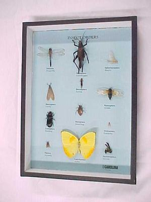 Insect Orders, Mounted Specimens