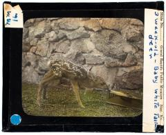 Lantern Slide, Fawns