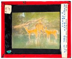 Lantern Slide, Doe with Fawns