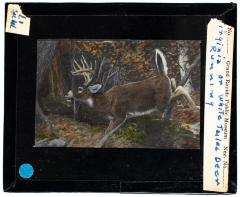 Lantern Slide, Deer Running