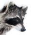 Raccoon (mount)