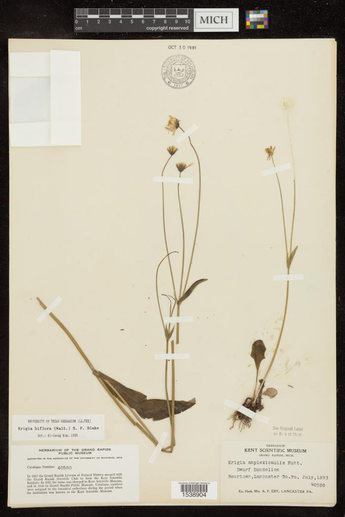 Two-Flower Dwarf Dandelion