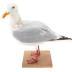 Iceland Gull (mount)