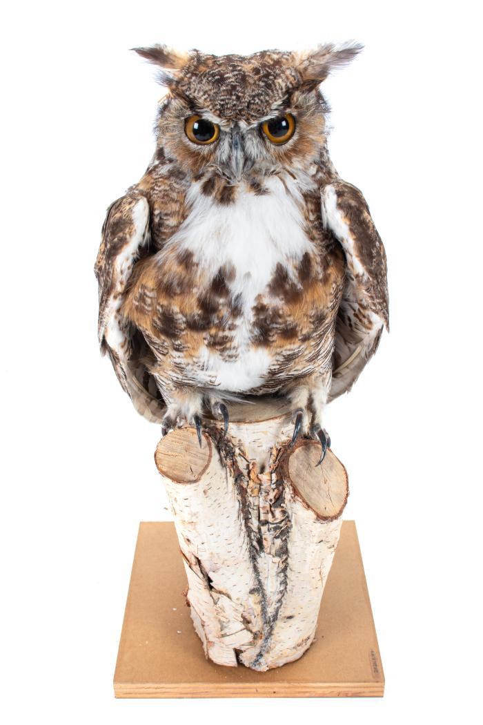 Great Horned Owl (mount)