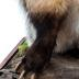 American Badger (mount)