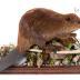 North American Beaver (mount)