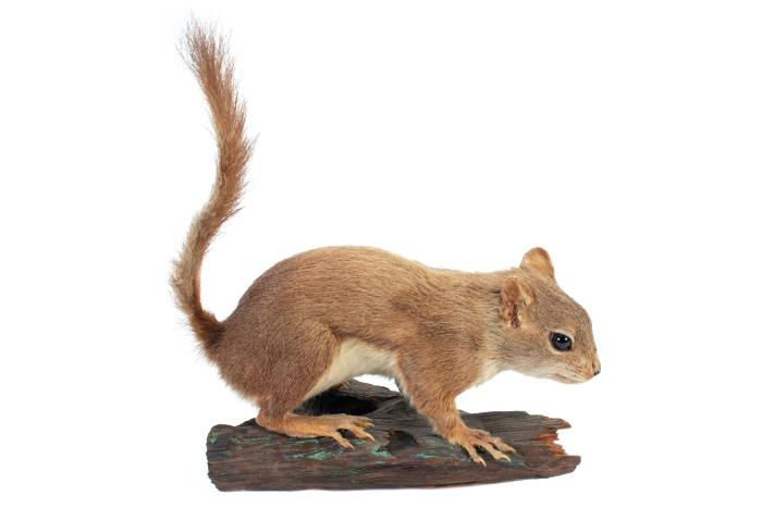 Red Squirrel (mount)