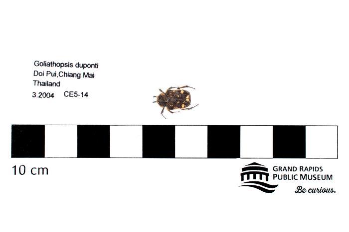 Goliathopsis duponti