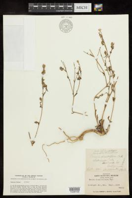 Grassy Tarweed
