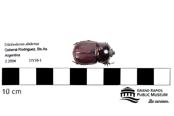 Diloboderus abderus