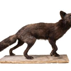 Arctic Fox (taxidermy)