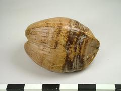 Coconut with husk
