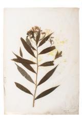 Milkweed (pressed)