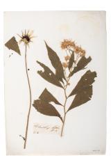 Sunflower (pressed)