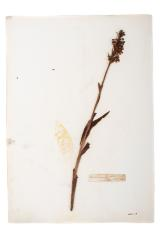 Orchid (pressed)