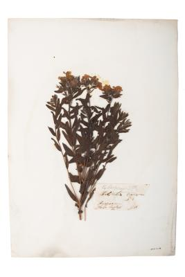 Hoary Puccoon (pressed)