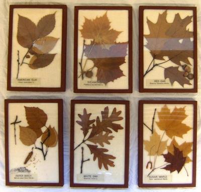 Framed Botanical Specimens