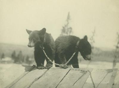 Photograph, Chained Bear Cubs