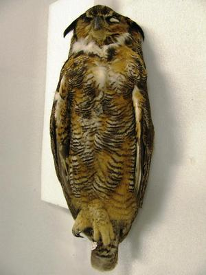 Mounted Study Skin, Great Horned Owl