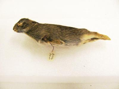 Mounted Study Skin, Cottontail Rabbit (immature)