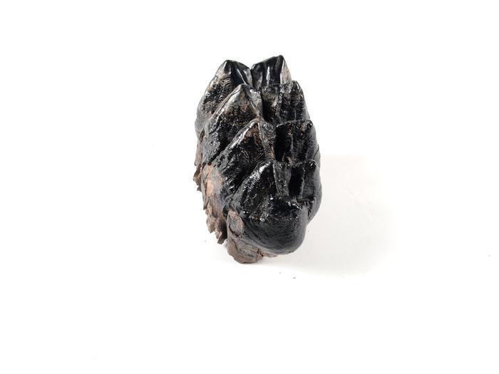 Mastodon Tooth, Upper Left Third Molar