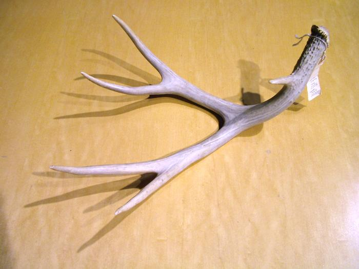 Deer Antler, Whitetail