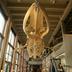Skeleton, Fin Whale