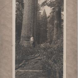 Photograph, Logger Harvests Large Tree in the Forest